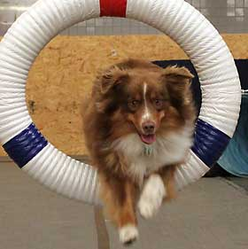 Australian Shepherd jumping through agility tire jump.