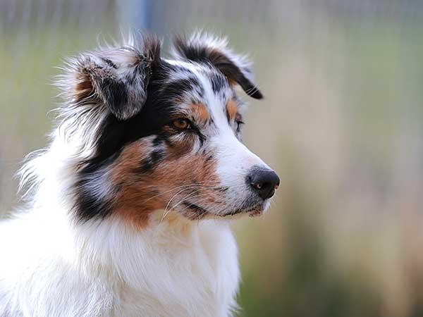 Blue merle Australian Shepherd portrait.