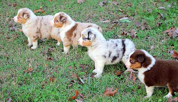 Australian Shepherd Colors and Markings