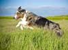 Australian Shepherd Photo