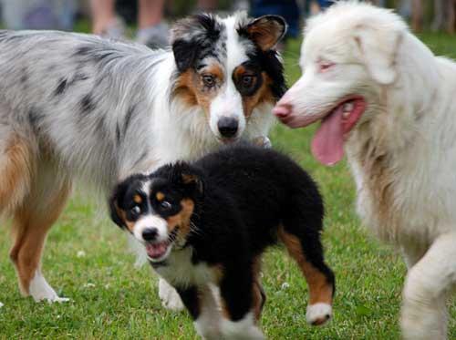 Australian Shepherd Dog Photo of the Day