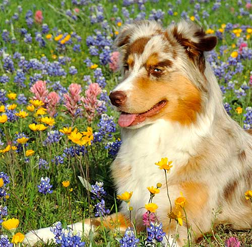 Australian Shepherd Dog Photo of the Day