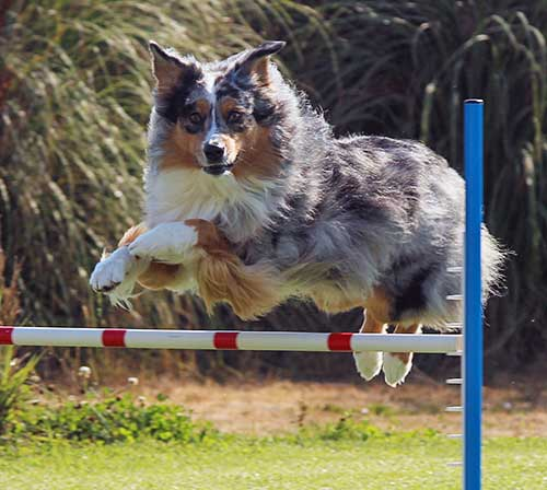 Blue merle Australian Shepherd clearing a dog agility bar jump.
