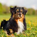 Australian Shepherd laying down in field of dandelions.