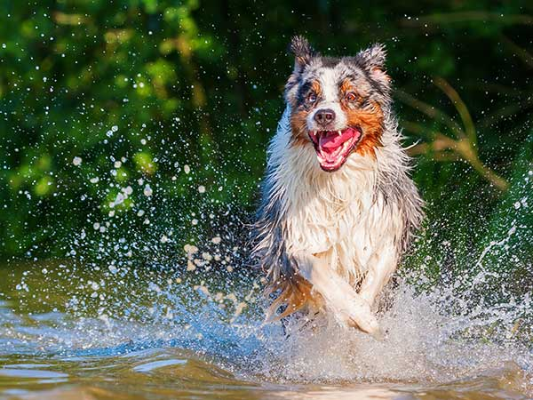 Australian Shepherd Health Issues | Puppy And Dog Health Problems - Photo: Blue merle Australian Shepherd running and splashing through water.