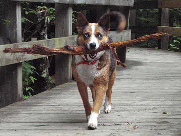 A Look At Australian Shepherd Mix Breed Dogs - Photo: Australian Shepherd and Blue Heeler mix, Babe II, carrying a big stick.