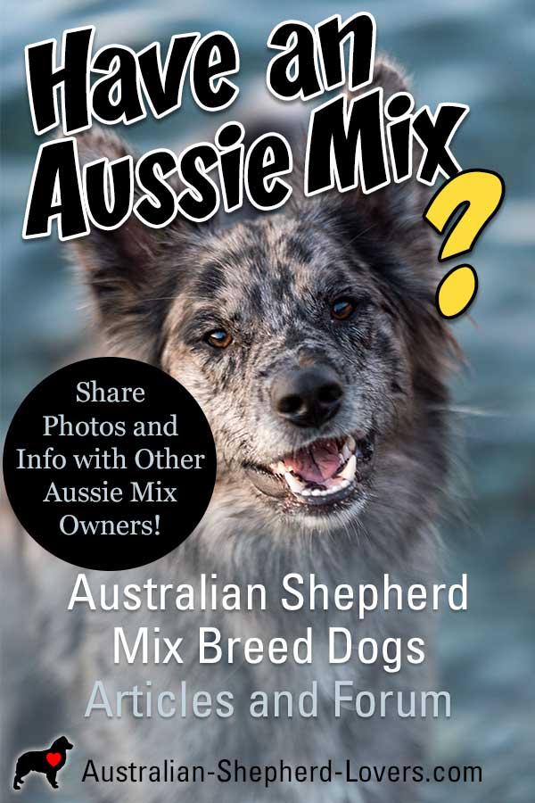 While the Australian Shepherd is the star of this website, many of our readers have Minis (technically a separate breed) or an Aussie mix. Learn more and create a page about your Aussie mix or Mini here. #australianshepherd #australianshepherdmix #aussiemix #aussielovers