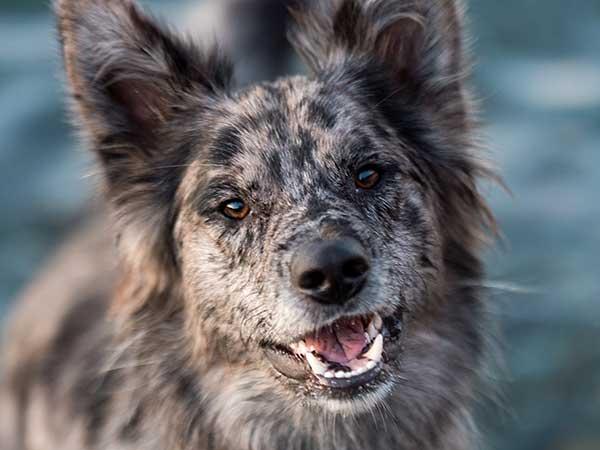 A Look At Australian Shepherd Mix Breed Dogs - Photo: Australian Shepherd mix smiling.