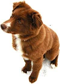 Australian Shepherd Puppy Training