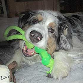 Australian Shepherd Skyler after his dental cleaning.