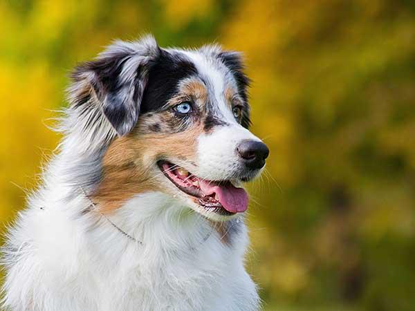 Australian Shepherd Training | Puppy Training and Dog Training
