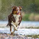 Red tri Australian Shepherd running along river.