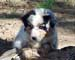 Preview Miniature Australian Shepherd