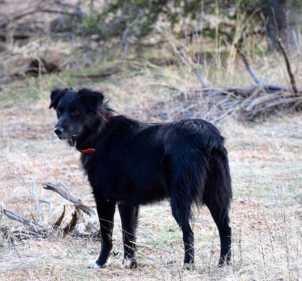 Australian shepherd breeders arizona preview australian shepherd solutioingenieria Image collections