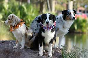 Australian shepherd dog breed picture