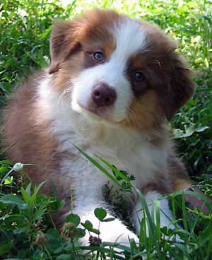 Australian Shepherd Puppies on Australian Shepherd Pictures Of Dogs We Love
