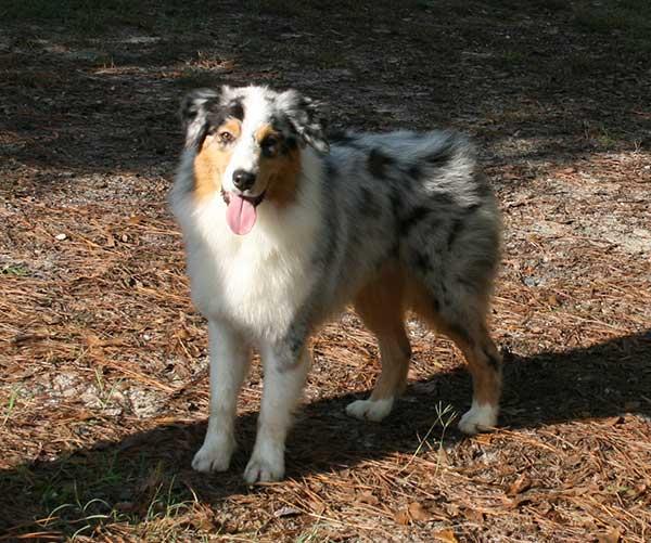 Australian Shepherd Breeders North Carolina