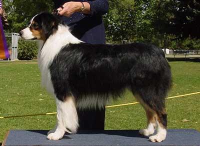 Image result for australian shepherd conformation