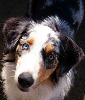 Basic Dog Training is Vital for Aussies