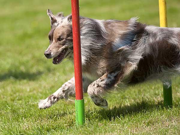 Border Collie at a dog agility club.