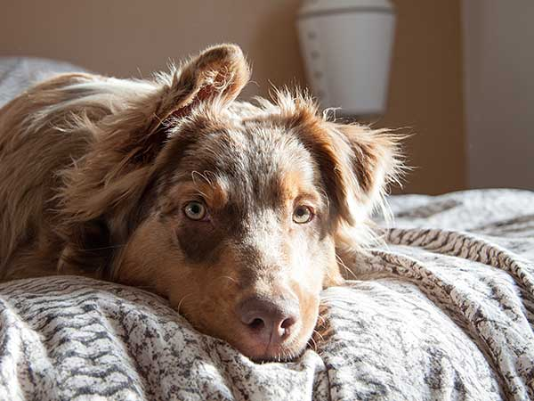 Australian Shepherd laying on bed.