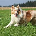 Australian Shepherd smiling and running across field.
