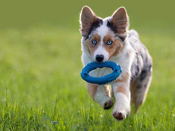 Australian Shepherd puppy running across grass with ring toy.
