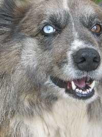Australian Shepherd - Attitude to Spare