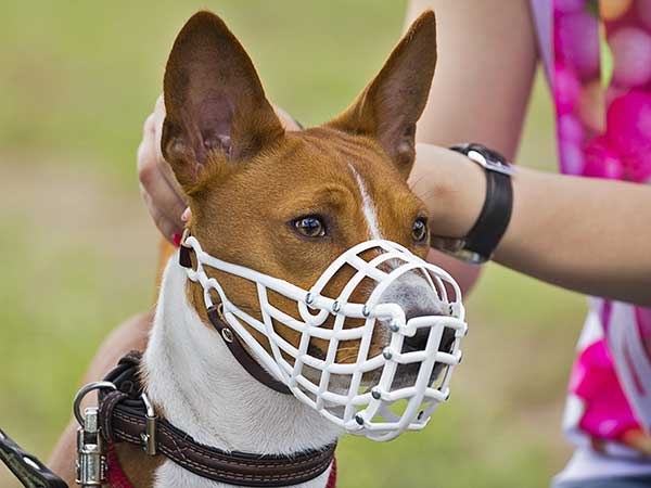 Is The Cage Dog Muzzle The Best Choice For Your Aussie? - Photo: Basenji wearing a cage dog muzzle.
