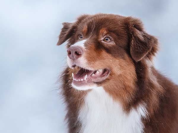 Cancer In Dogs Article: Photo of red tri Australian Shepherd with snowy background.