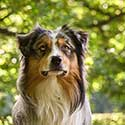 Australian Shepherd with trees in background.