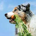 Australian Shepherd with carrot in her mouth.