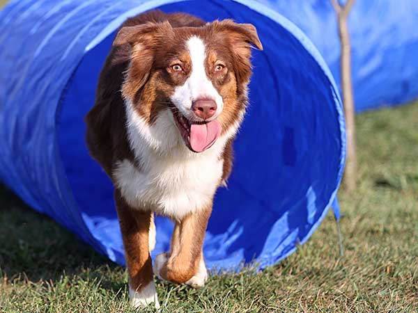 Red tri Australian Shepherd exiting dog agility tunnel.