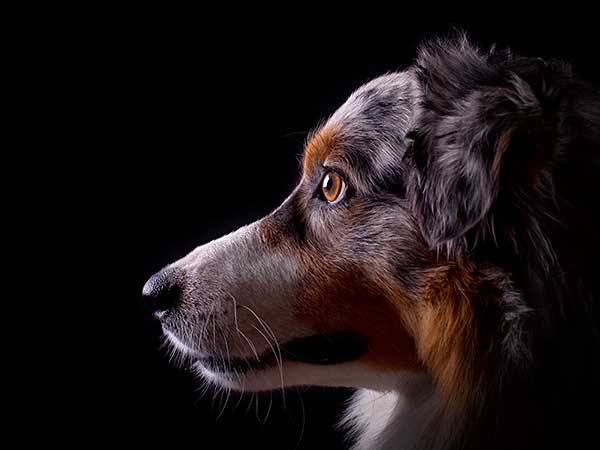 Canine Lymphoma Article: Photo of blue merle Australian Shepherd with black background.