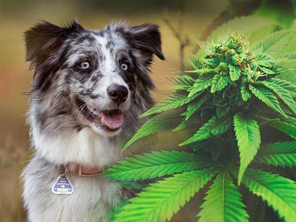 CBD Oil For Dogs And What Australian Shepherd Owners Need To Know - Photo: Composite of Aussie and cannabis plant