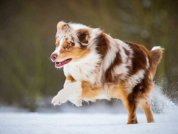 Red merle Australian Shepherd running on snow.