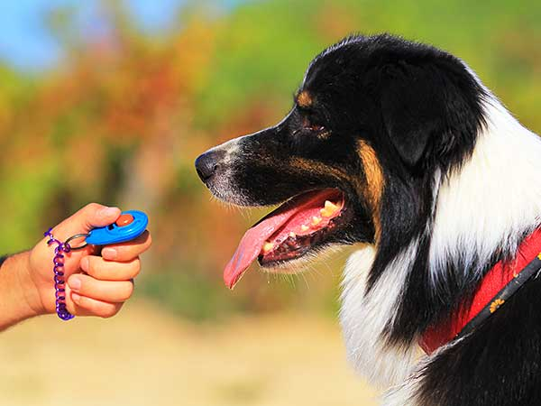 Australian Shepherd learning with clicker dog training