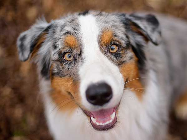 Australian Shepherd dog smiling at camera.