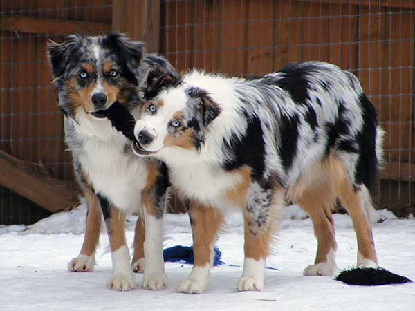 Australian Shepherds Misty Blue and Pachee