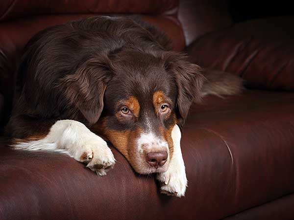 Australian Shepherd with depression laying on couch.