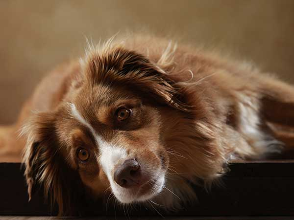 Photo for article about Diarrhea In Dogs of Australian Shepherd laying down.