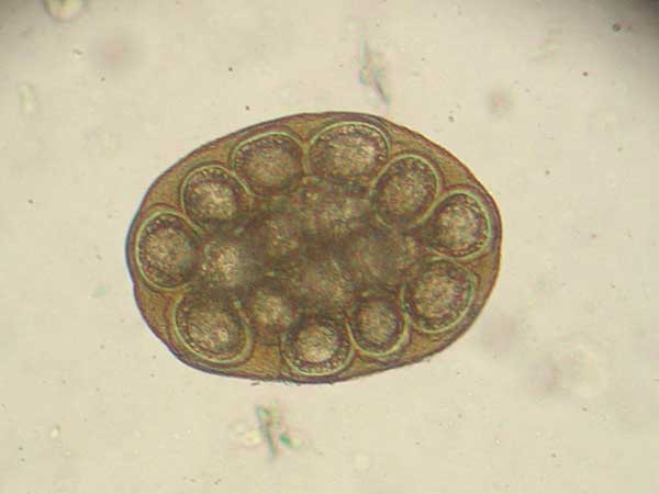 Does Your Australian Shepherd Have Tapeworms? - Photo: An egg packet of Dipylidium caninum. Photo taken through a microscope at 400x.