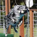 Australian Shepherd in dock diving competition.