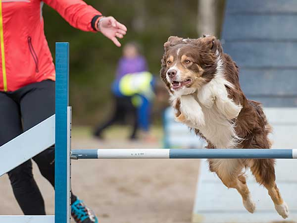 Australian Shepherd and lady running agility course.