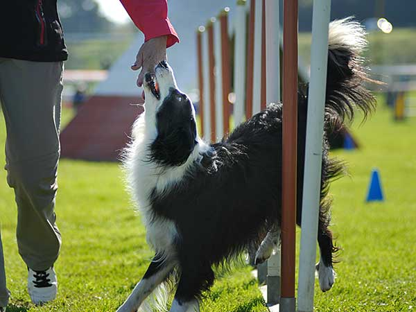 Border Collie at a dog agility club.