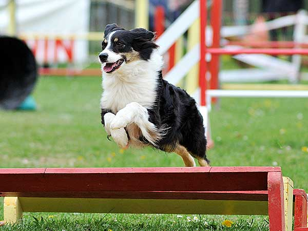 Australian Shepherd running dog agility course.