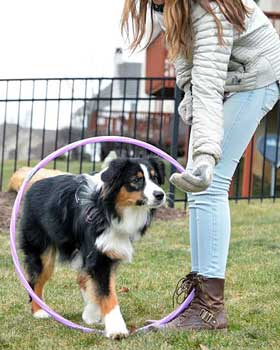 Australian Shepherd dog agility training with hoop