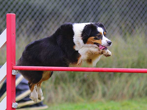 Australian Shepherd jumping over agility bar jump.