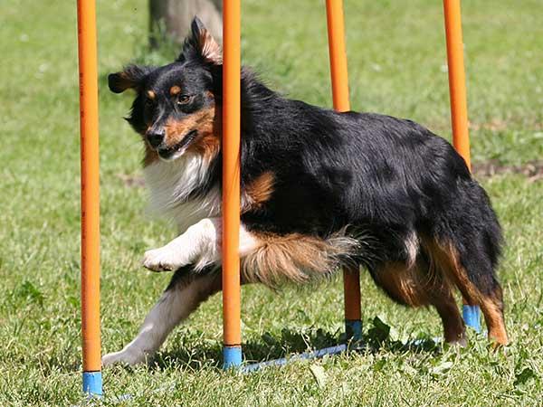 Australian Shepherd running through dog agility weave poles.