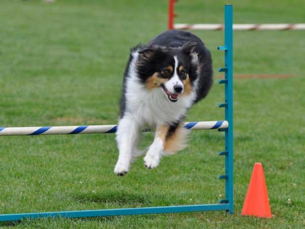 Australian Shepherd jumping over bar jump at dog agility training class.